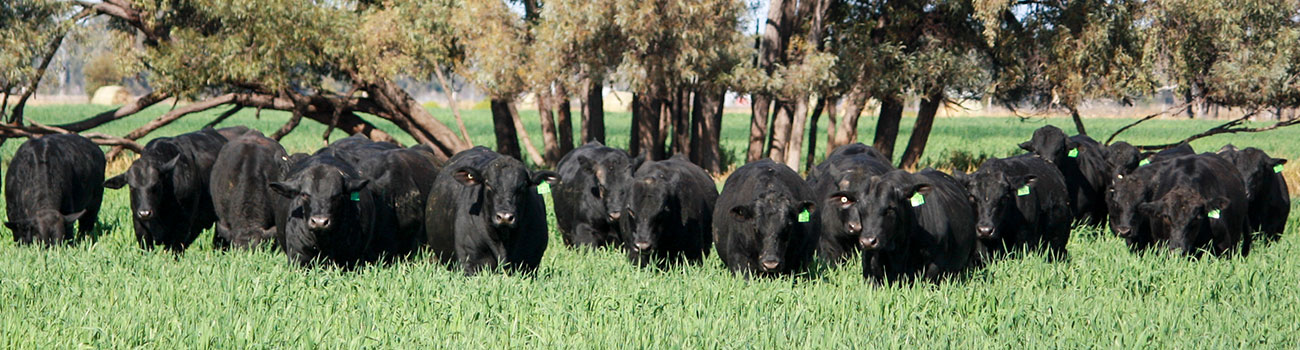 Angus and Brangus bulls for sale in Queensland