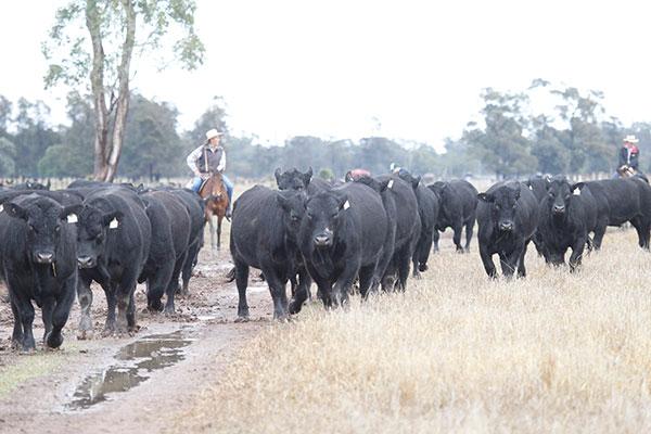 bulls-walking