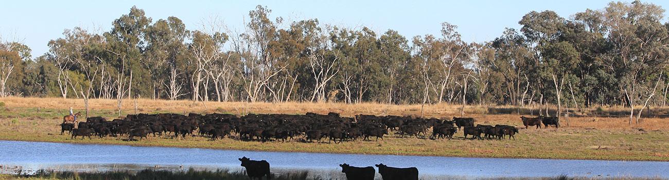 header-cows