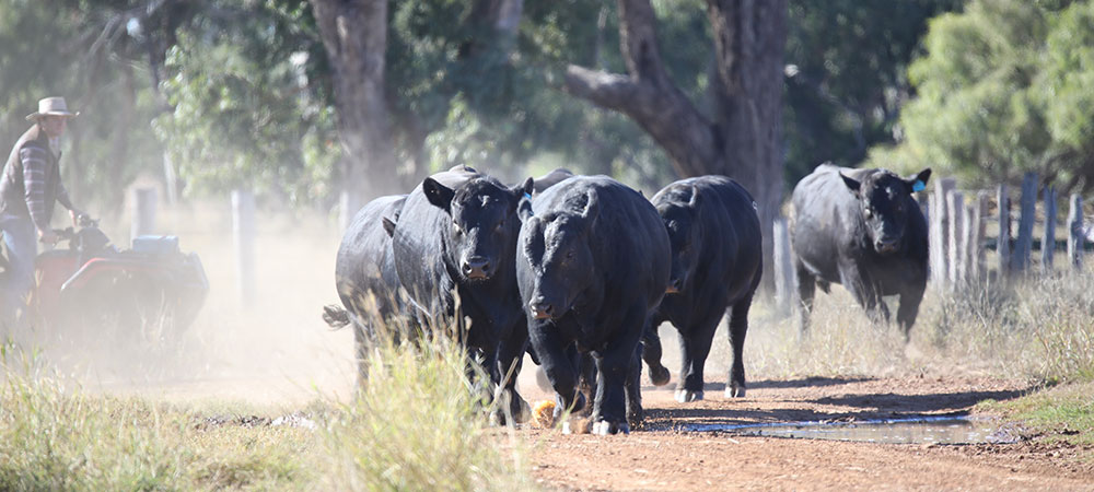 bulls-2020-1