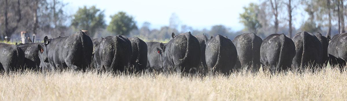 2021-angus-sale-bulls