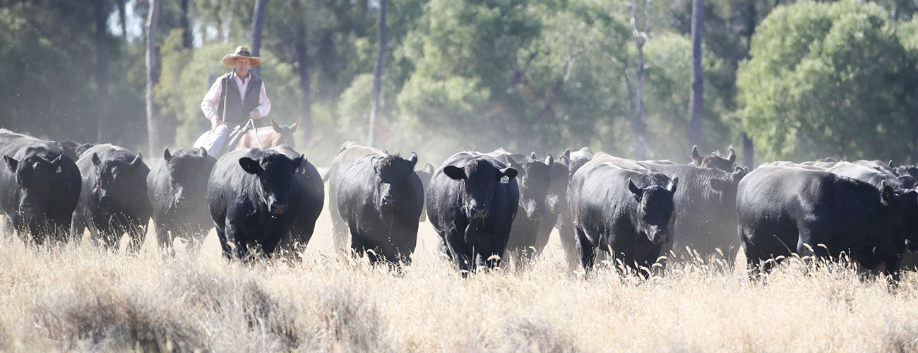bull-sale